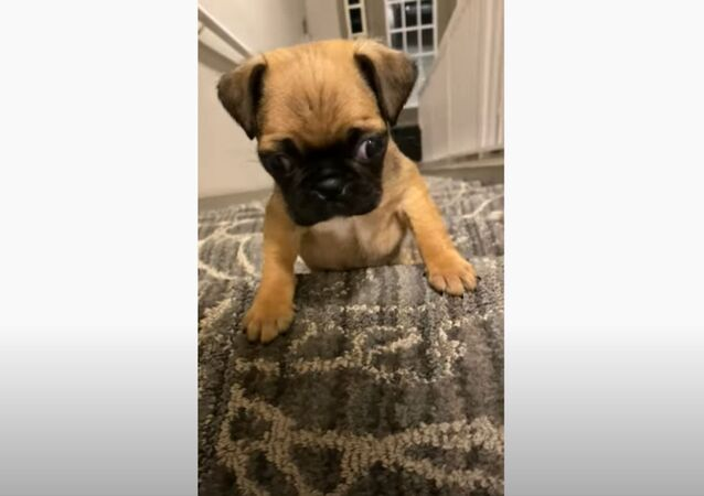 Adorable Pug Puppy Makes First Climb Up Stairs