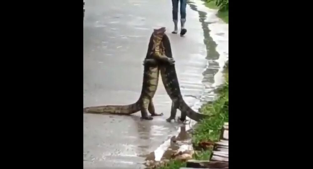 Video of two monitor lizards 'hugging' each other in India goes viral