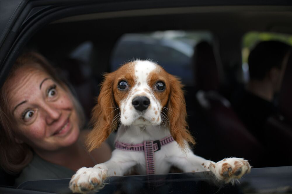 Buddy the dog peers from a vehicle before the start of a movie at a drive-in cinema in Snagov, Romania, Monday, 1 June 2020. Romania further loosened the measures imposed during a nationwide lockdown in order to limit the spread of COVID-19 infections, with museums, open air restaurants, cinemas and beaches opening to the public on Monday.