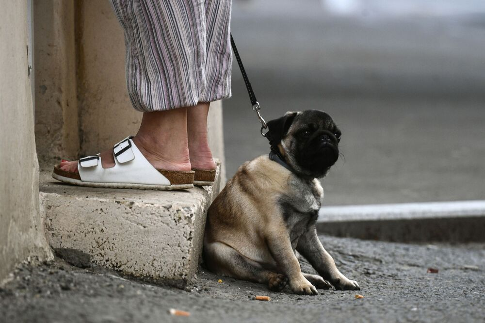 A pug on a street in Moscow.