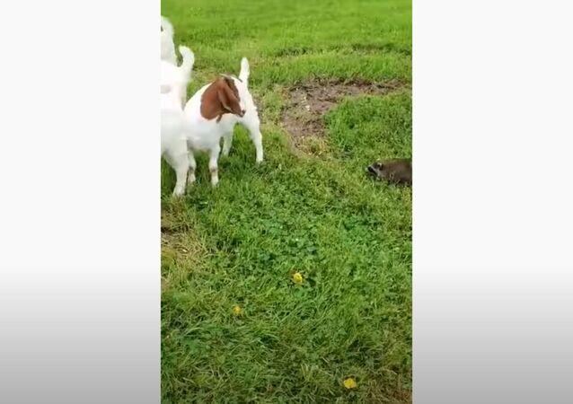Yeehaw! Farm Raccoon Rounds Up Goats