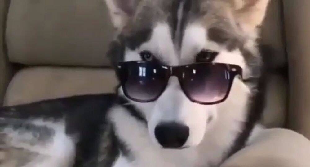 Too Cool for You: Trendy Husky Puts on Sunglasses