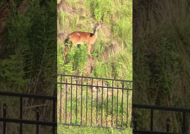 Mother Deer Protects Babies From Playful Dogs