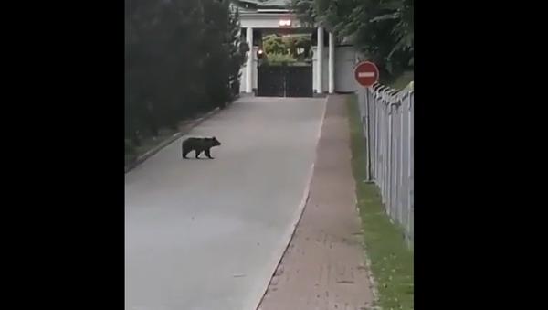 Bear walking around a hotel in the Russian city of Sochi - Sputnik International
