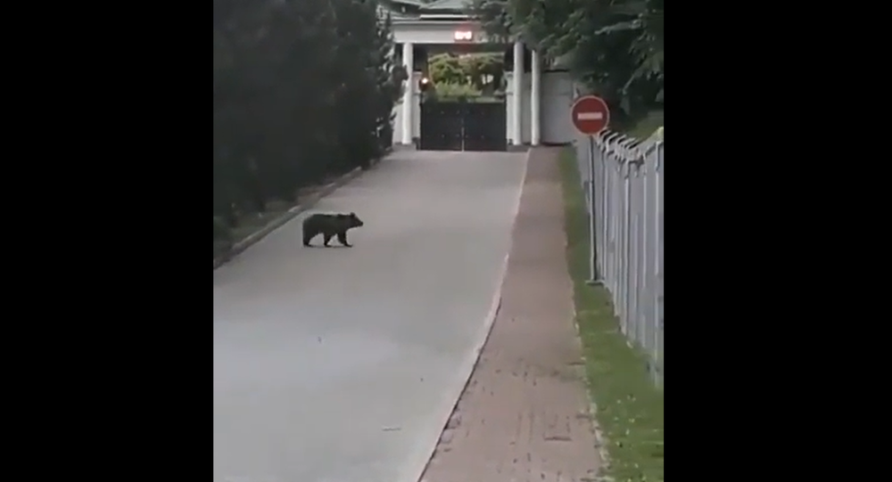 Bear walking around a hotel in the Russian city of Sochi
