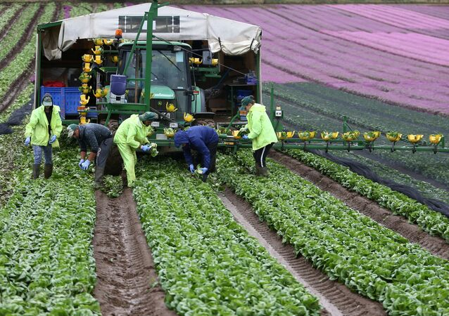 Migrant workers pick lettuce on a farm in Kent, Britain July 24, 2017.
