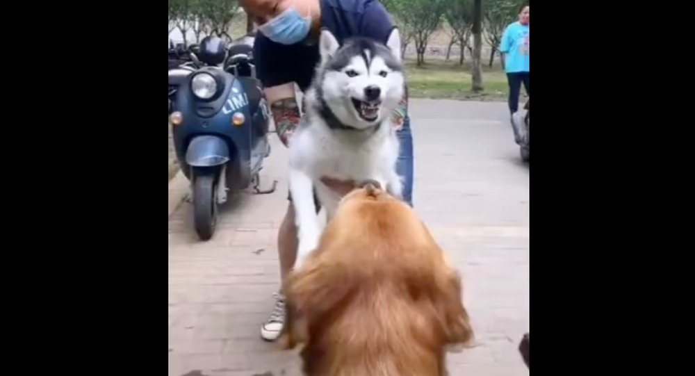 Husky and golden retriever
