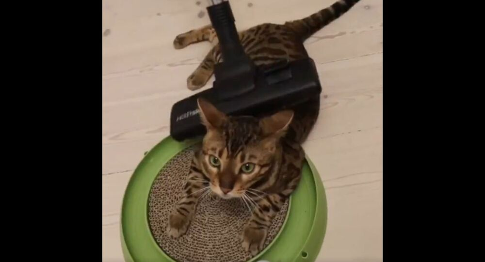 Danish Bengal Cat Gets Pampered With Vacuum Massage