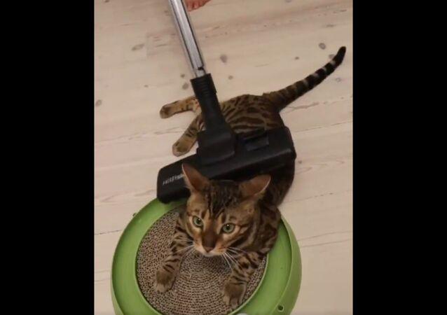 Danish Bengal Cat Gets Pampered With Vacuum Massage