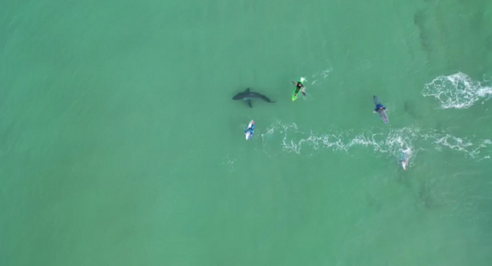 Great White Shark Lurks Beneath Unsuspecting Surfers Off South African Coast