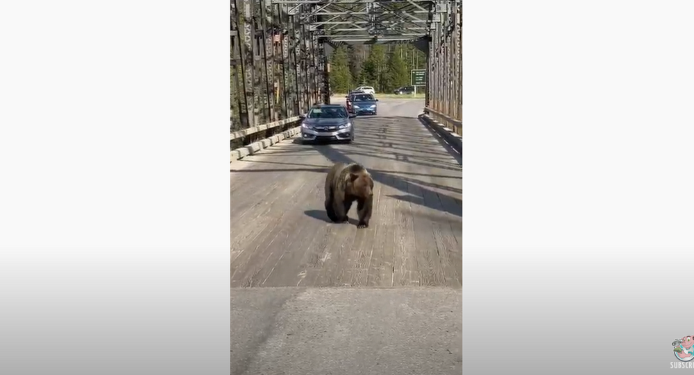 On the Road Again: Grizzly Bear Casually Strolls Across Bridge