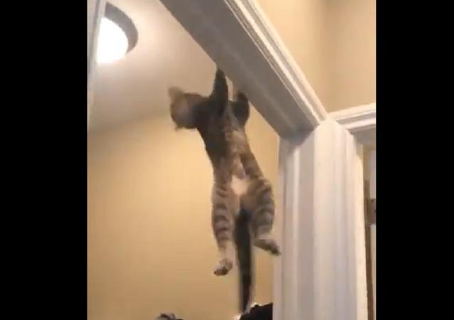 Cat doing pull-ups