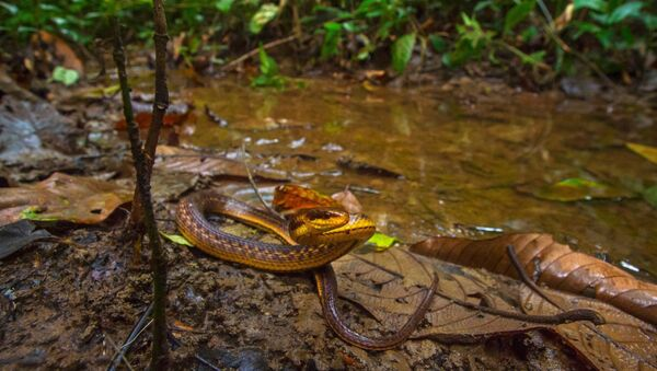 Lost and found!!! The Assam Keelback snake has been found after 129 years from Poba reserve forest on the #Assam-Arunachal Pradesh border by a team from Wildlife Institute of India  - Sputnik International