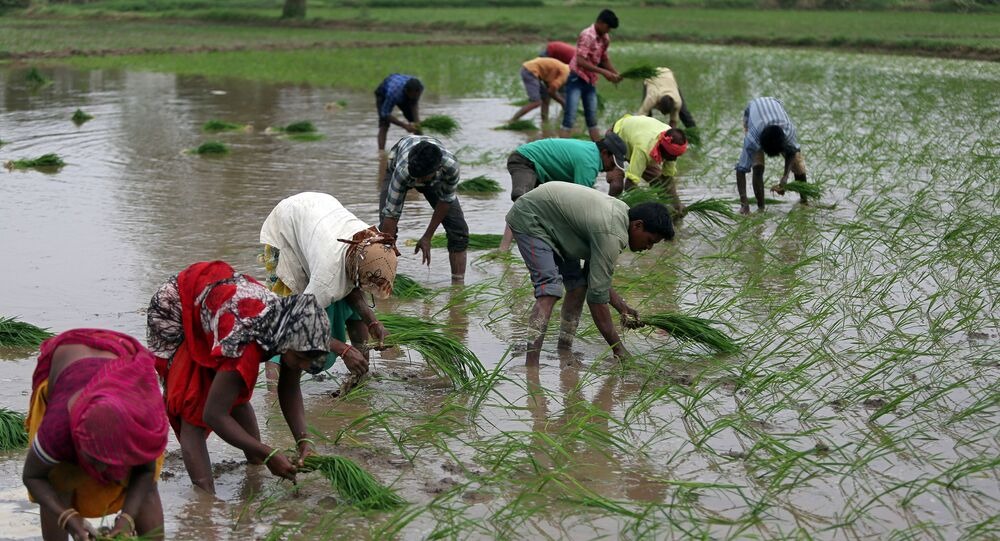 Farmers plant saplings in a rice field on the outskirts of Ahmedabad, India, July 5, 2019.