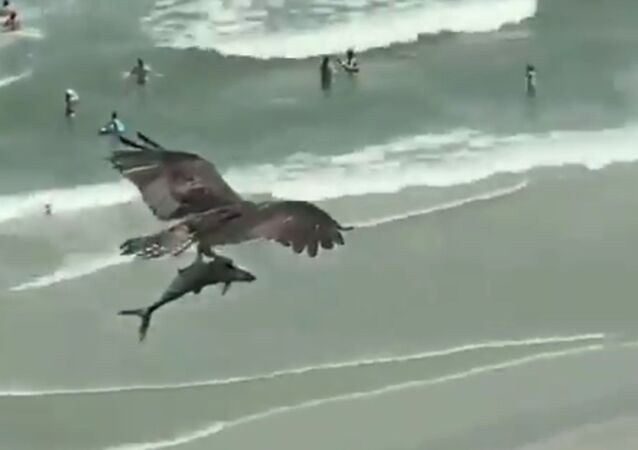 Gargantuan Predatory Bird Carries Shark Over Beachgoers