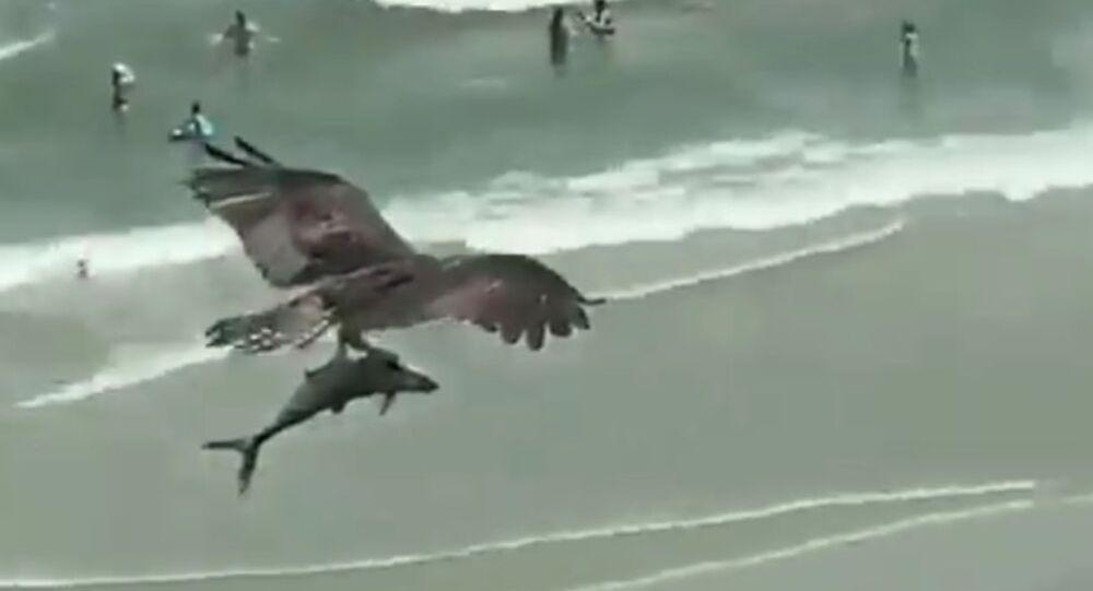 Gargantuan Predatory Bird Carries Shark Over Beachgoers