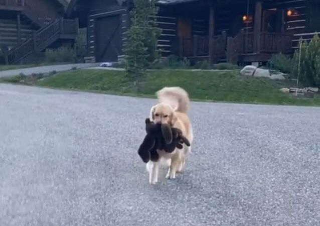 Play Time! Golden Retriever Shows Off New Toy