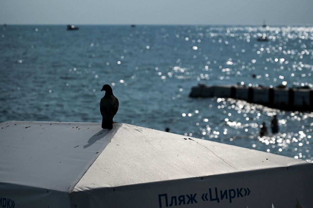 A pigeon sits on top of a sunshade umbrella on the 'Circus' beach in Sochi
