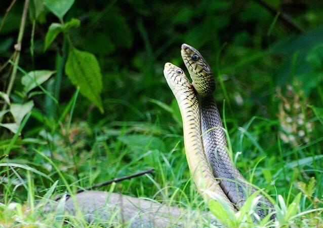 Snakes dance