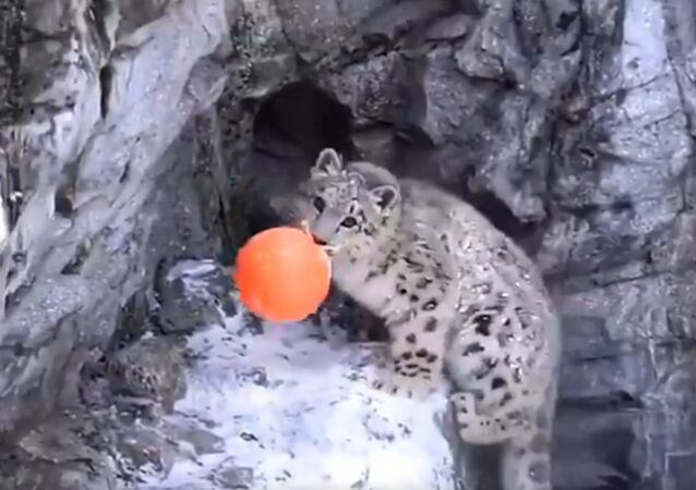 Snow Leopard Cub Loves Playing With Ball