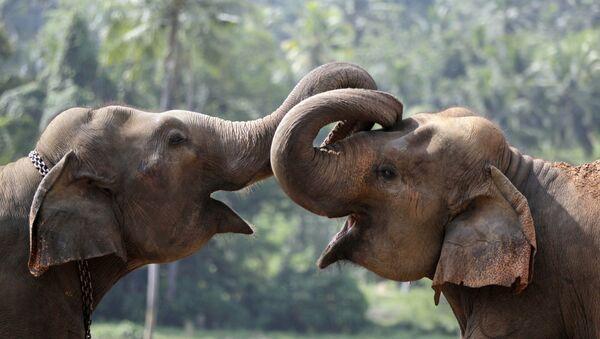 Two elephant calves play at an elephant orphanage in Pinnawala, about 45 kilometers (28 miles) northeast of Colombo, Sri Lanka - Sputnik International