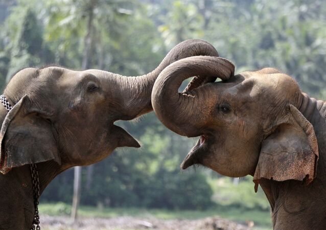 Two elephant calves play at an elephant orphanage in Pinnawala, about 45 kilometers (28 miles) northeast of Colombo, Sri Lanka, Wednesday, April 16, 2014. The orphanage is home to 83 elephants and a major tourist attraction in Sri Lanka. (AP Photo/Eranga Jayawardena)