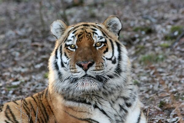 WWF builds first center to protect Amur tigers in China - Sputnik International