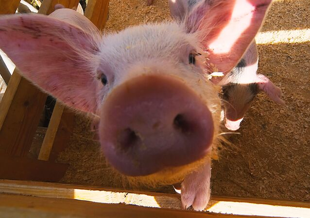 New cases of African swine fever have been registered in Latvia.