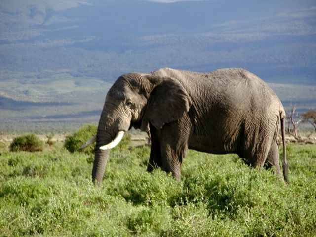 African forest elephant is in danger of extinction