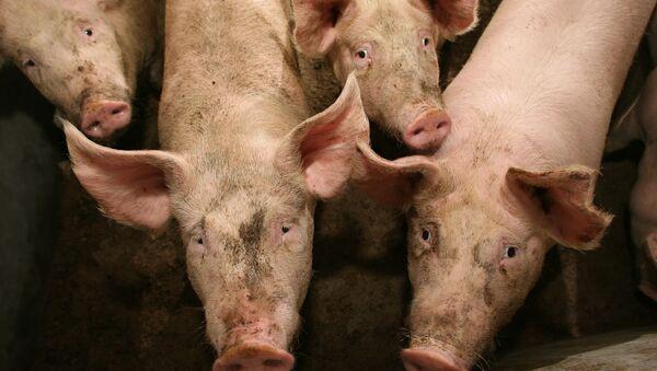 Swine flu - Sputnik International