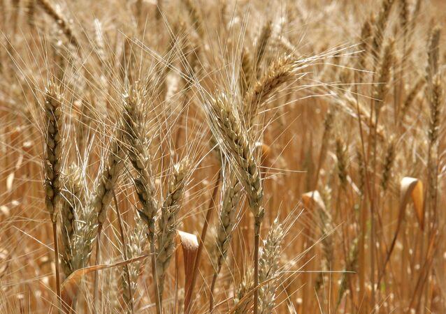 A wheat field in Russia