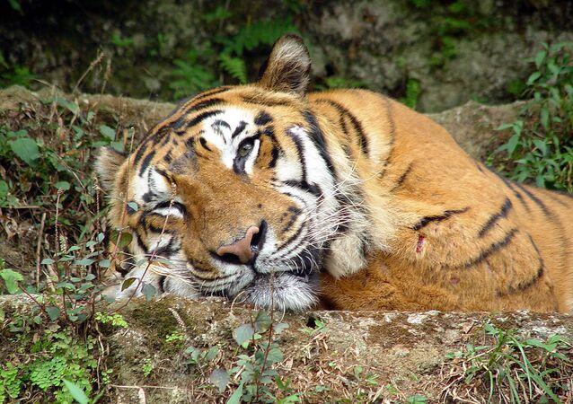 Тигр в Таман Сафари