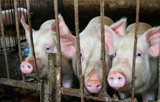 Russia's Rusagro to build 20 bln rbl pig farm in Urals