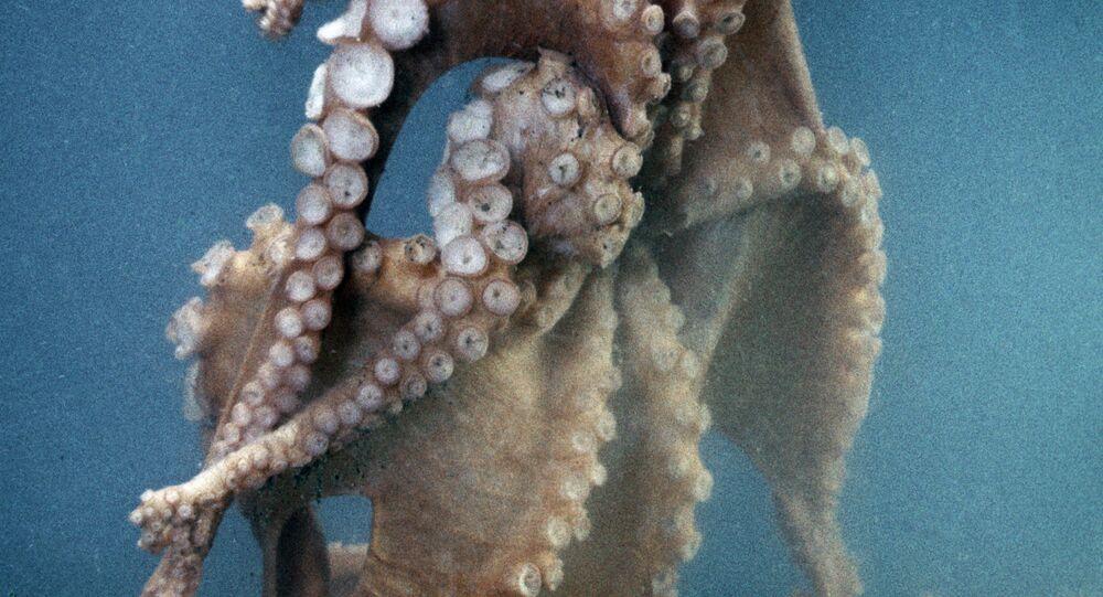 Осьминог, обитающий у берегов Сахалина