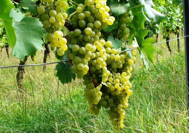 The ministers of agriculture of South Africa and Russia have discussed in Moscow the possibility of sharing their experience in winery, South Africa's Minister of Agriculture, Forestry and Fisheries told Sputnik on Friday.