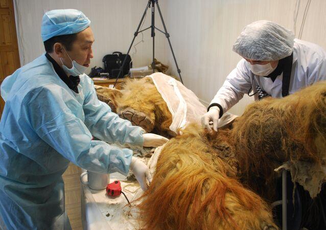 В Якутске палеонтологи исследуют мамонтенка Юку