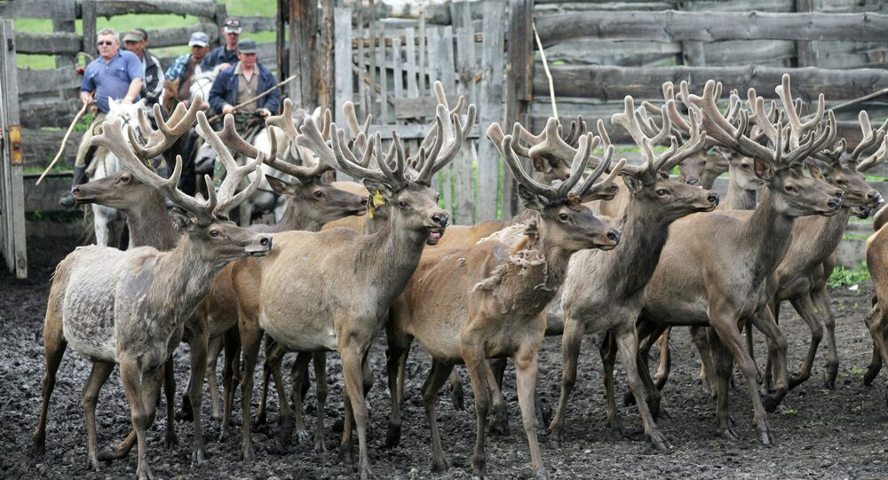 Siberian Red Deer Farms in the Altai Mountains