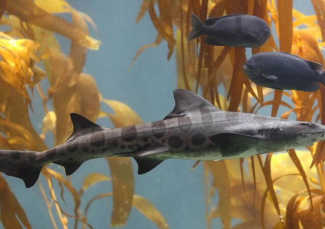 A Leopard shark swimming in a kelp forest in the 70,000 gallon kelp tank at Scripps Aquarium in La Jolla, California