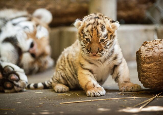 The Amur tiger cub's mother came to the Pittsburgh Zoo from St. Petersburg, Russia
