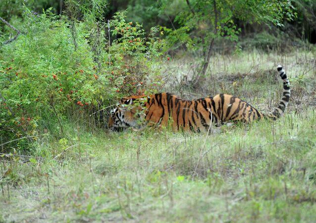 Центр реабилитации и реинтродукции тигров в Приморском крае
