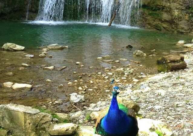 A pet peacock in front of a waterfall on Shakhe River. Tourists can take a picture with it for 100 rubles ($3)