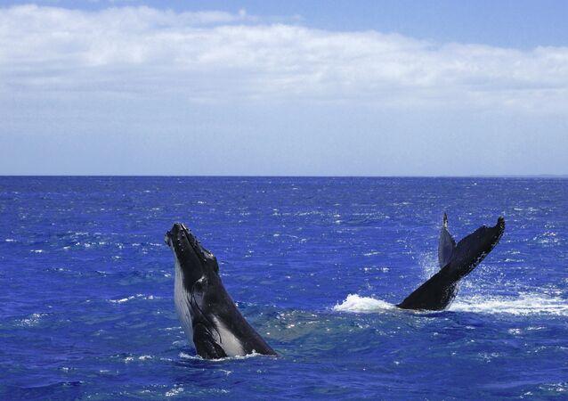 Детеныш горбатого кита с матерью
