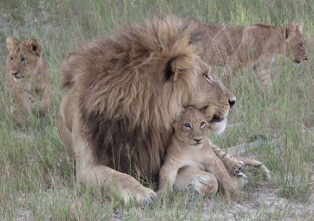 Lion Botswana